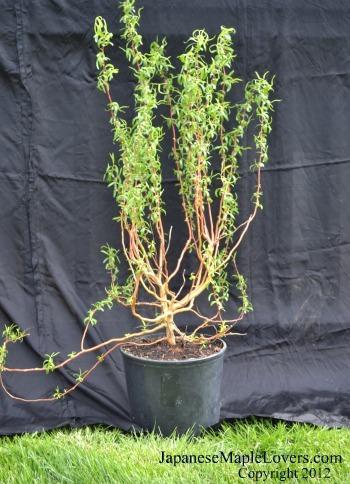 Golden Curls Willow