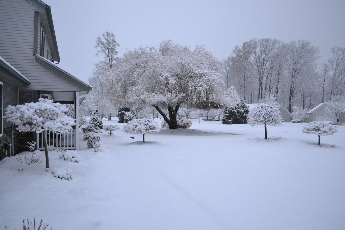 Lavender Twist Redbud and other weeping trees covered in snow.