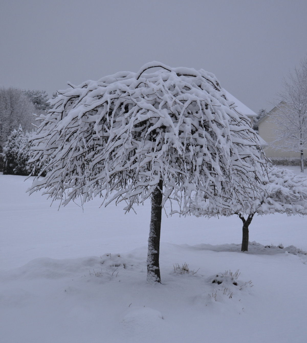 Snow covered Lavender Twist Weeping Redbud tree.