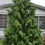 Weeping Nootka Cypress