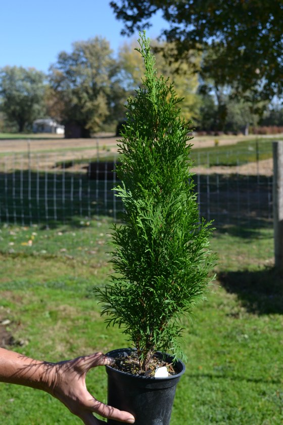 Emerald Green Arborvitae, 3 years old.