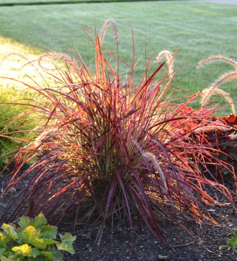 Red fountain grass images galleries for Red landscaping grass