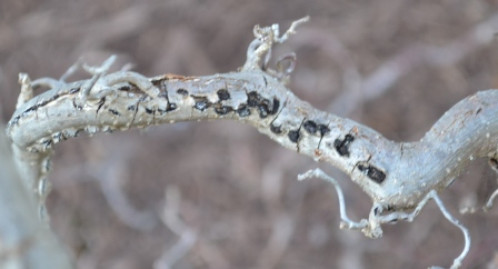 Eastern Filbert Blight on Harry Lauder's Walking Stick