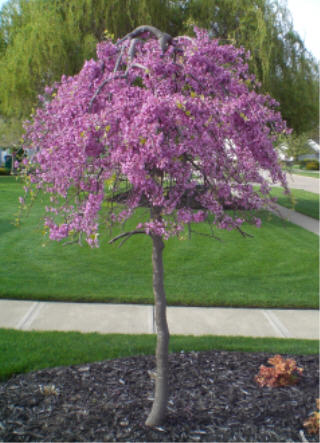 Teaching A Lavender Twist Redbud Tree How To Be A Tree Mike S