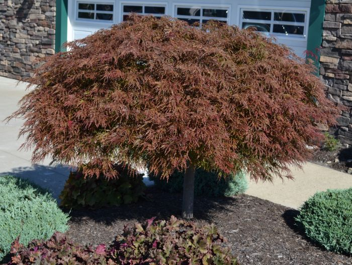 Acer Palmatum Dissectum Crimson Queen Mikes Backyard Nursery