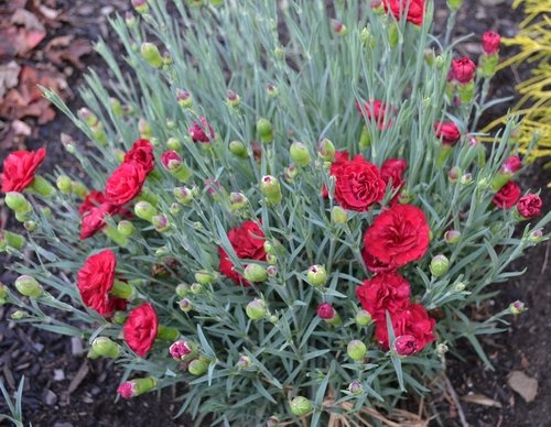 Dianthus, Sweet William, Carnation or Pink.