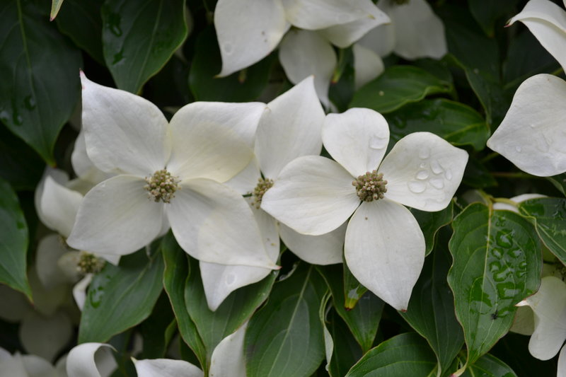 Milky Way Chinese Dogwood Tree