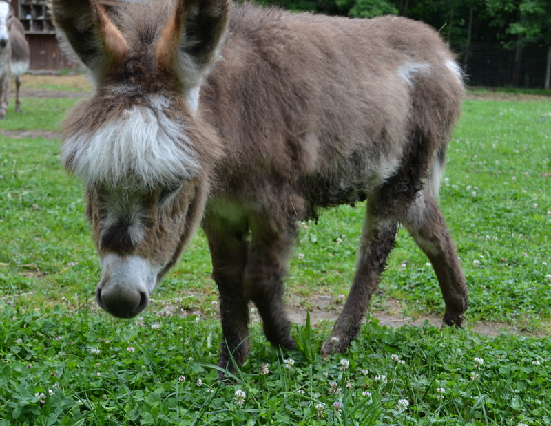 Farm donkeys - photo#16