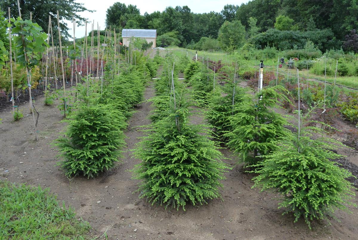 Controlling weeds around Canadian Hemlock trees.