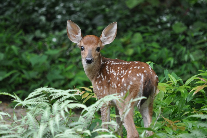 How to Attract Deer - Mike's Backyard Nursery