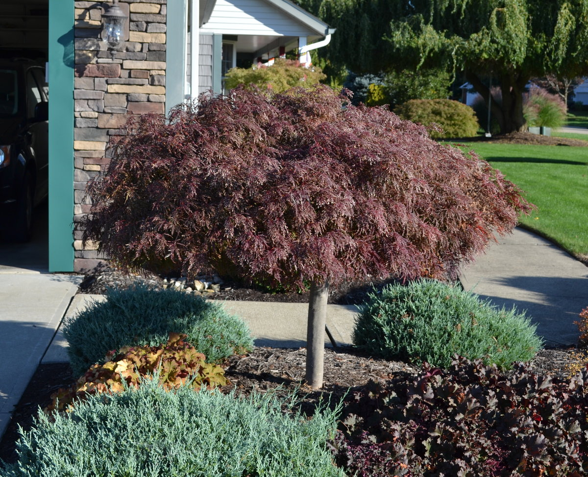 Crimson Queen Japanese Red Maple.