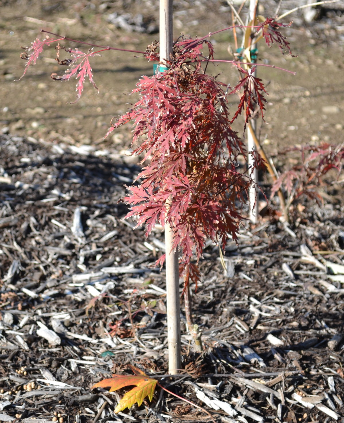 Training a Crimson Queen Japanese Red Maple.