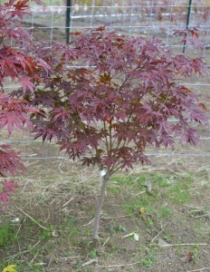 Bloodgood Japanese Red Maple Tree.
