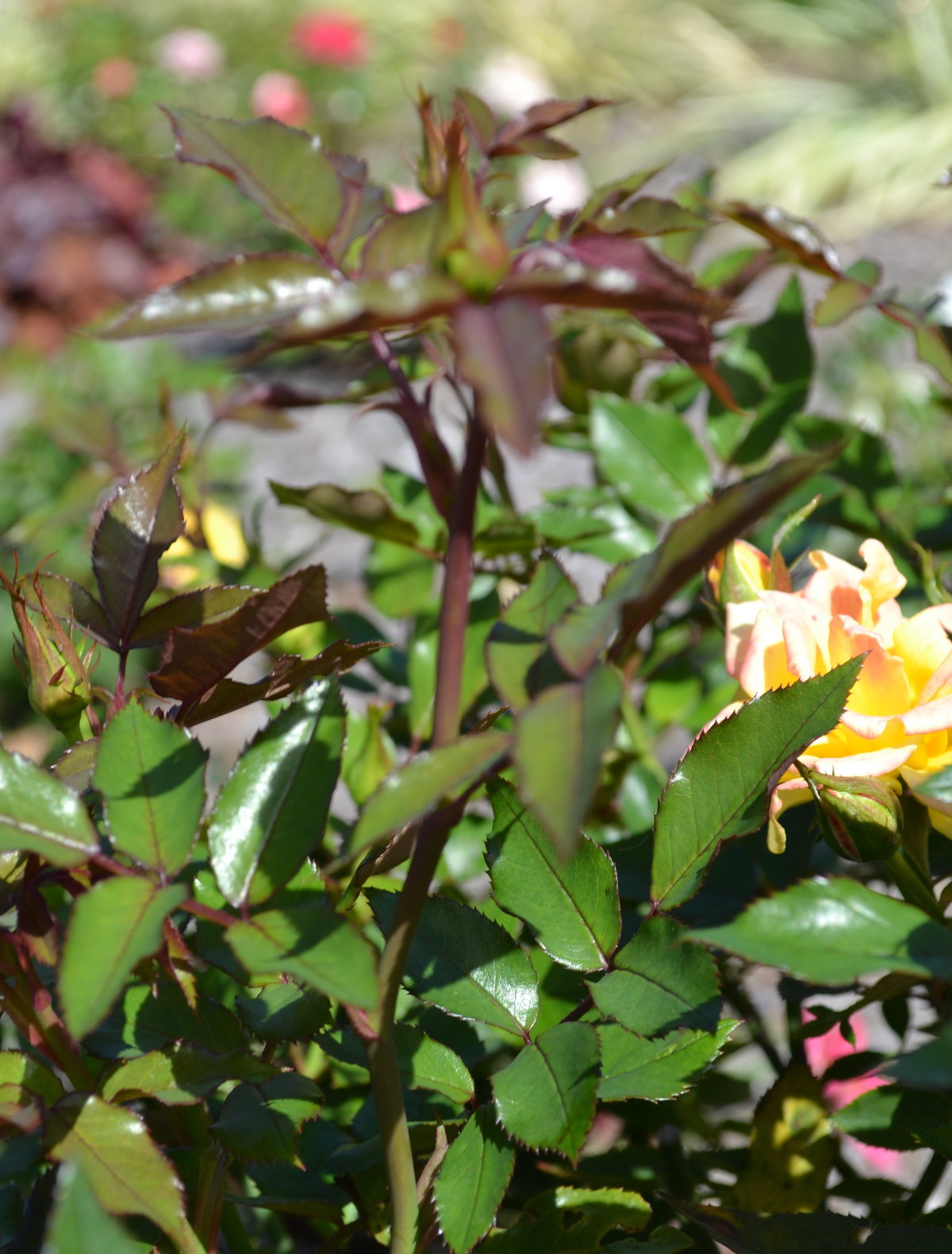 How To Grow Roses From Cuttings Mike S Backyard Nursery