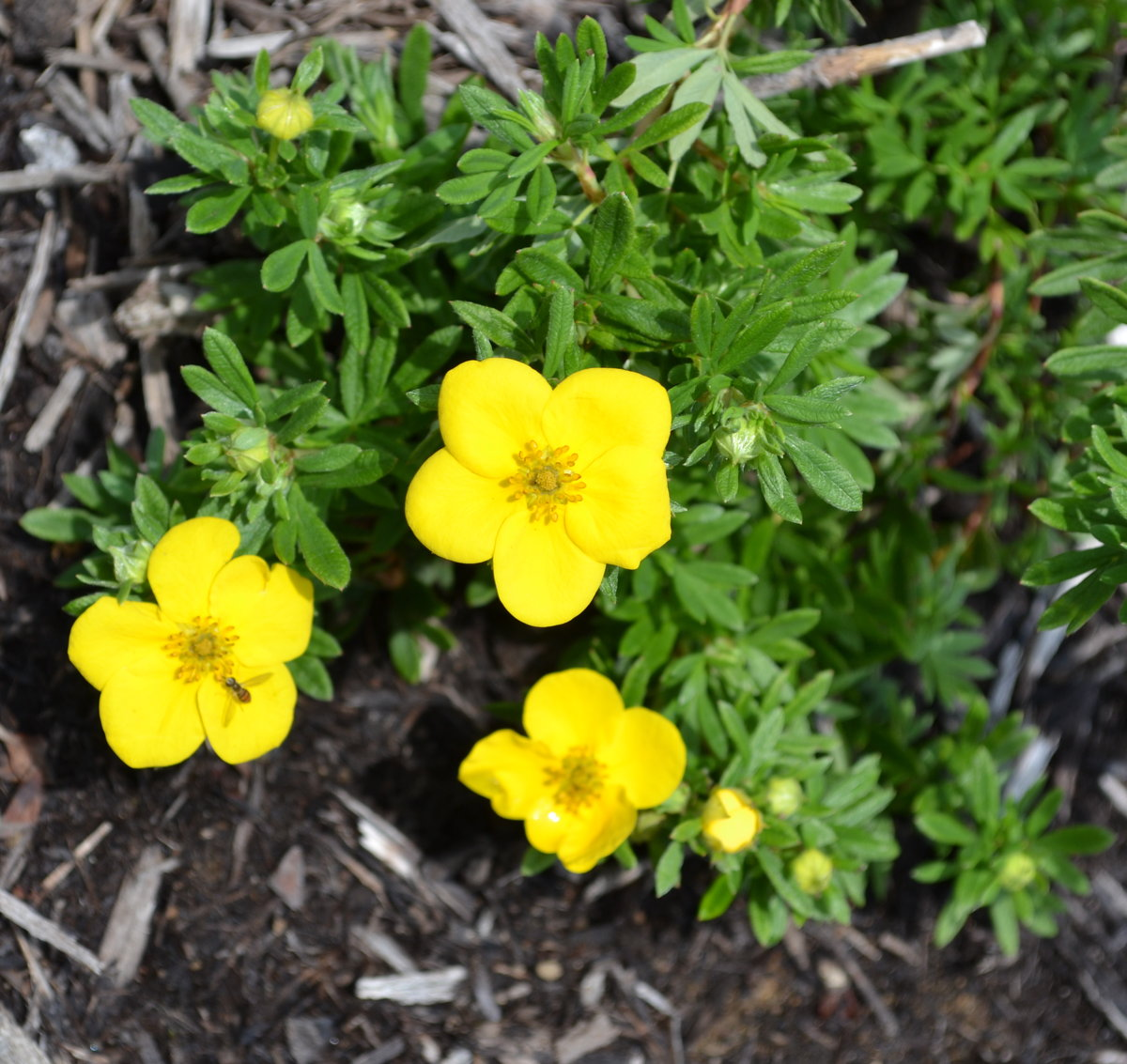 Gold Drop Potentilla.  Tough enough to make it through the winter?