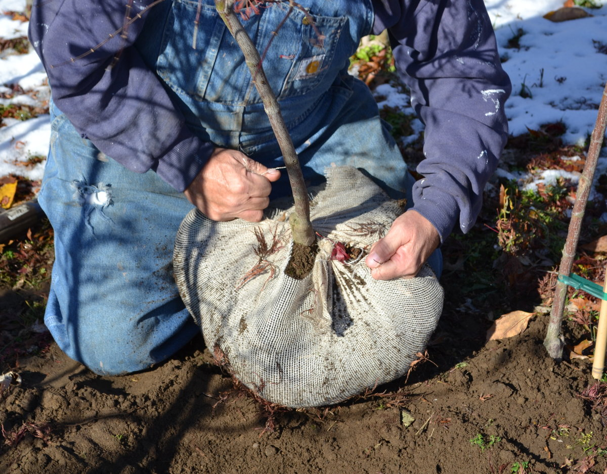 Winter Tree And Shrub Transplanting Tips And Why Now Is