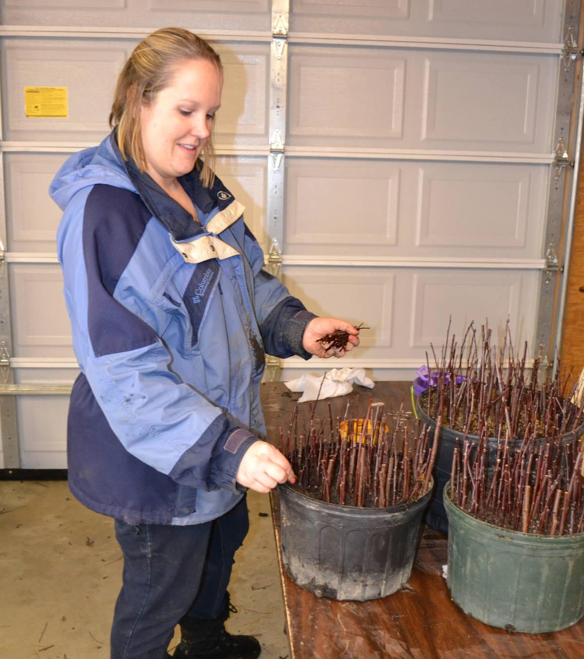 Sticking hardwood cuttings of Purple Sandcherry.