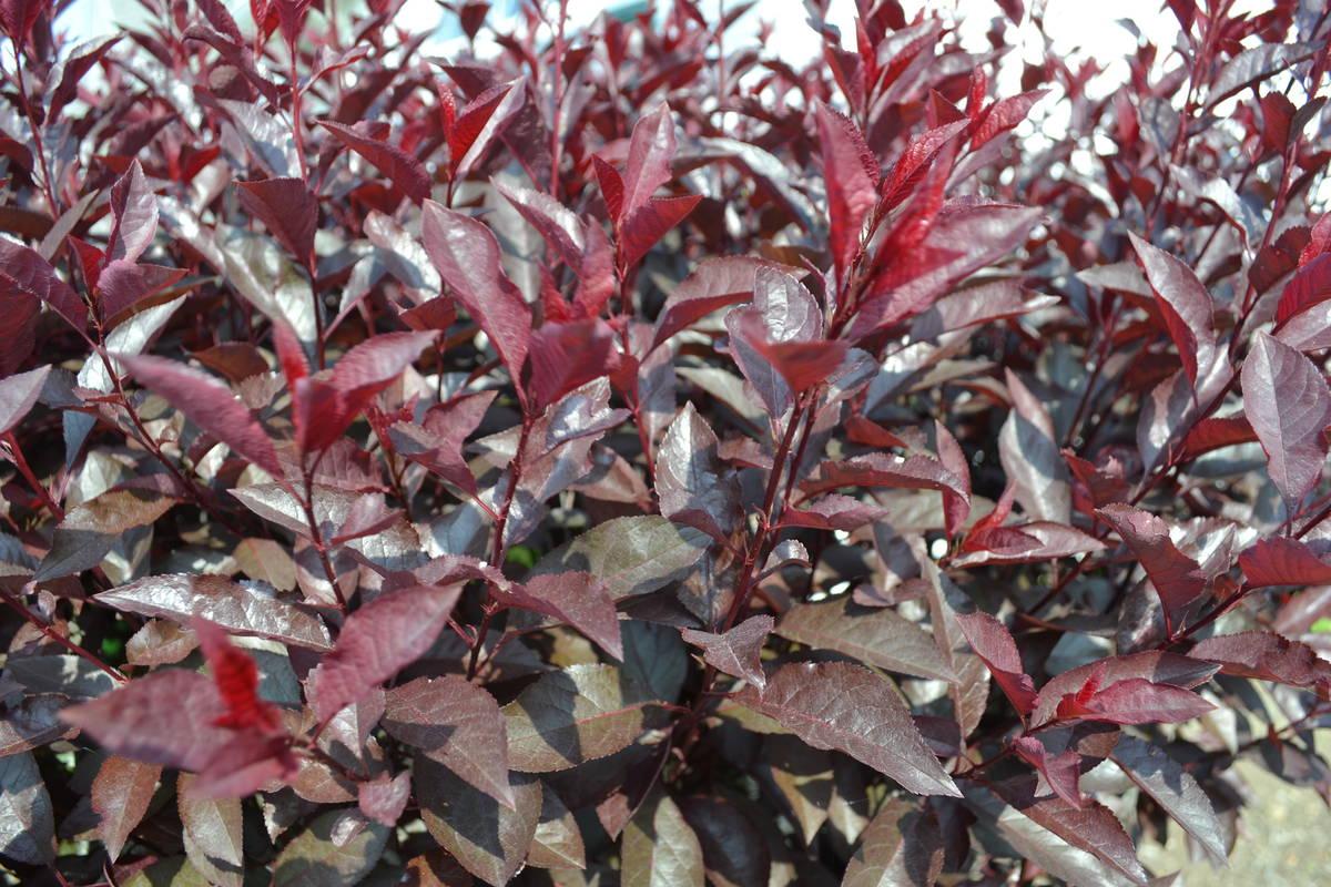 How To Root Purple Sandcherry Prunus Cistena From Hardwood Cuttings Mike S Backyard Nursery