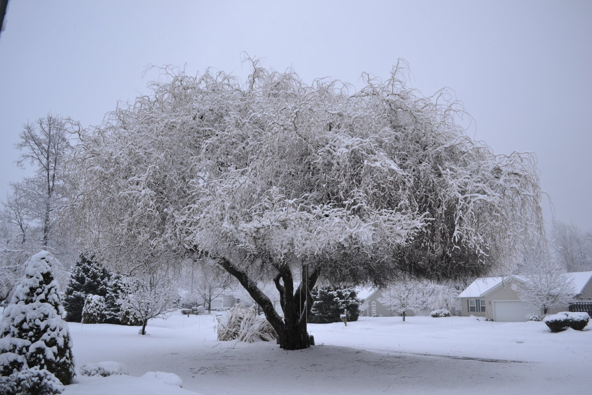 Snow Covered Golden Curls Willow Tree.