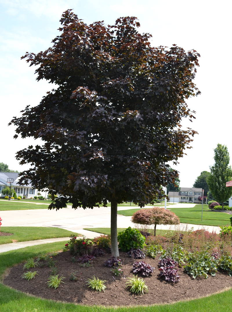Royal Red maple tree used in a corner planting.