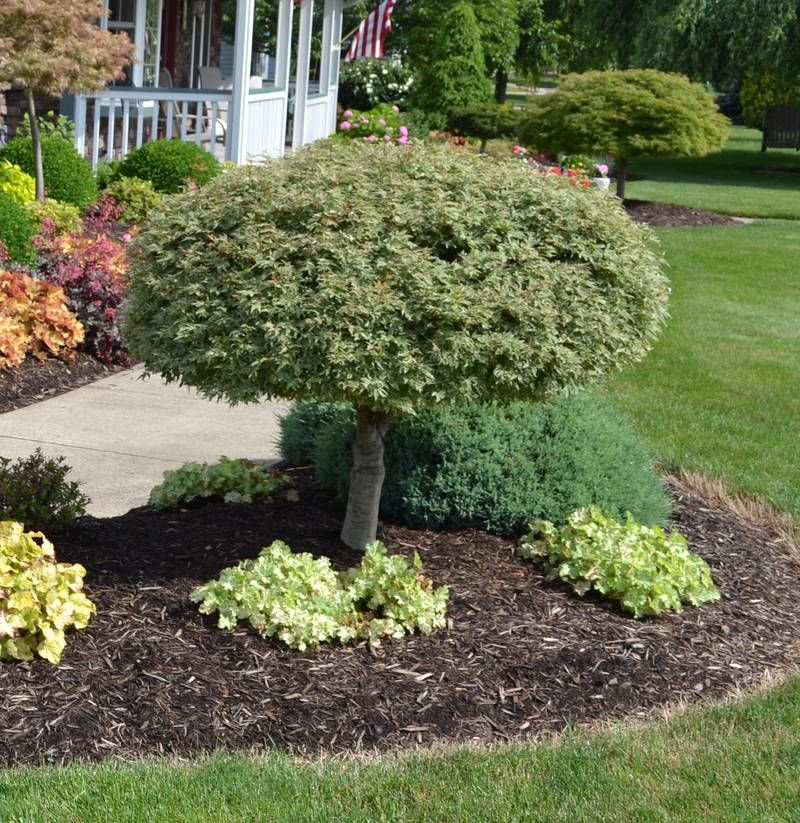 Image gallery landscaping with japanese maples for Garden design with japanese maple