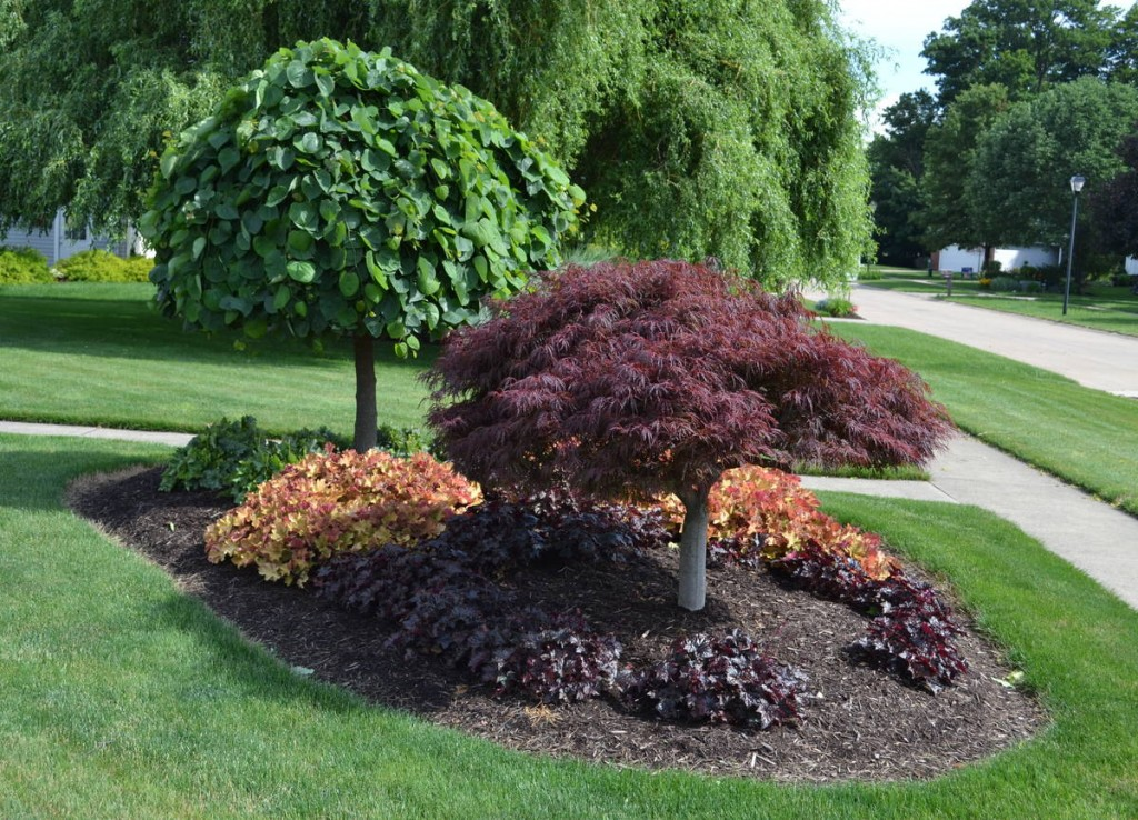 A Laceleaf Weeping Japanese Red Maple and a Lavender Twist Redbud in a bed with some Coral Bells.