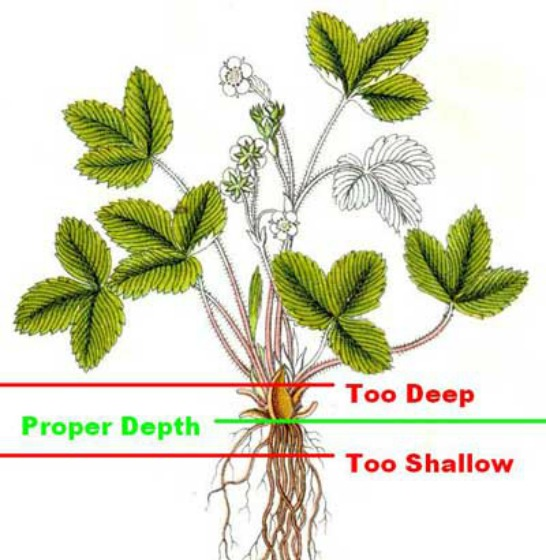 Proper planting depth for strawberries.