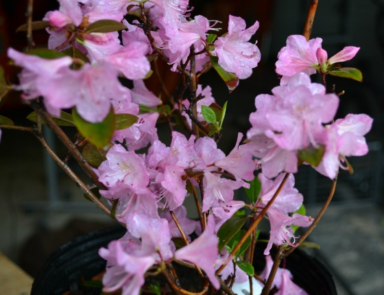 Olga Mezitt Rhododendron in bloom.