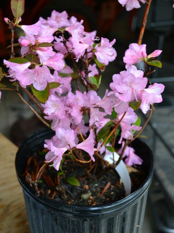 Super winter hardy, Olga Mezitt Rhododendron.