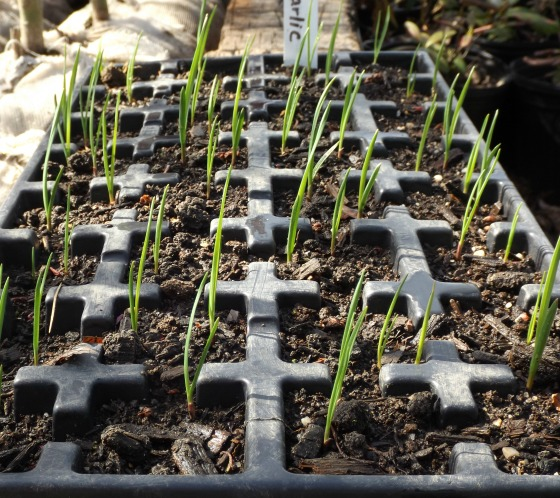 Garlic sprouting from bulbils.