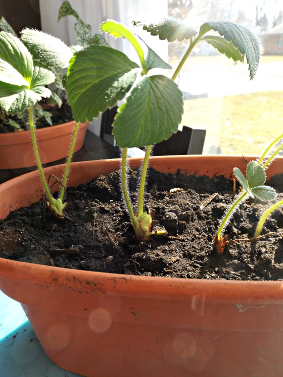 My bare root strawberries one week after planting.