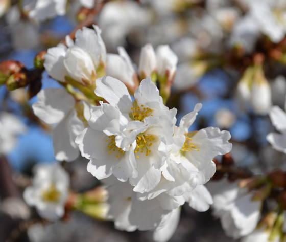 White Fountain Weeping Cherry Tree.
