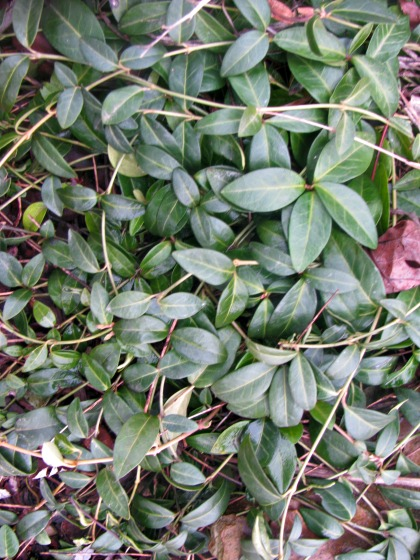 The leaves on this perennial vinca vine retain their green color through out the winter.