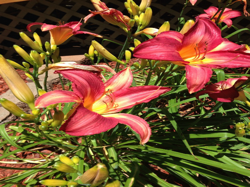 Daylillies in bloom
