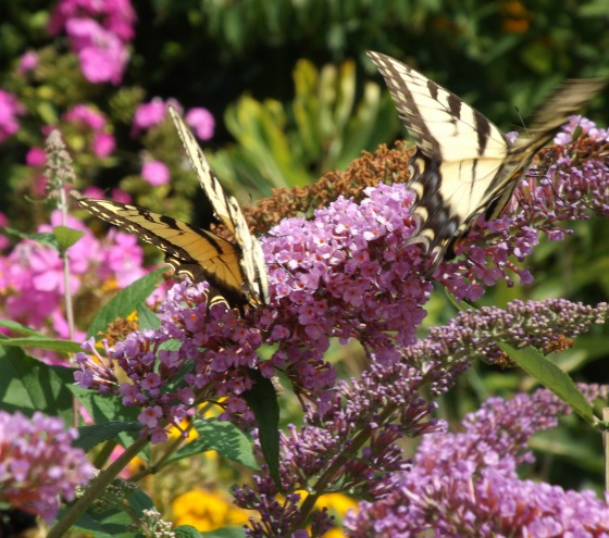 The butterfly bush, true to its name, is a favorite of butterflies as well as bees and other pollinators.