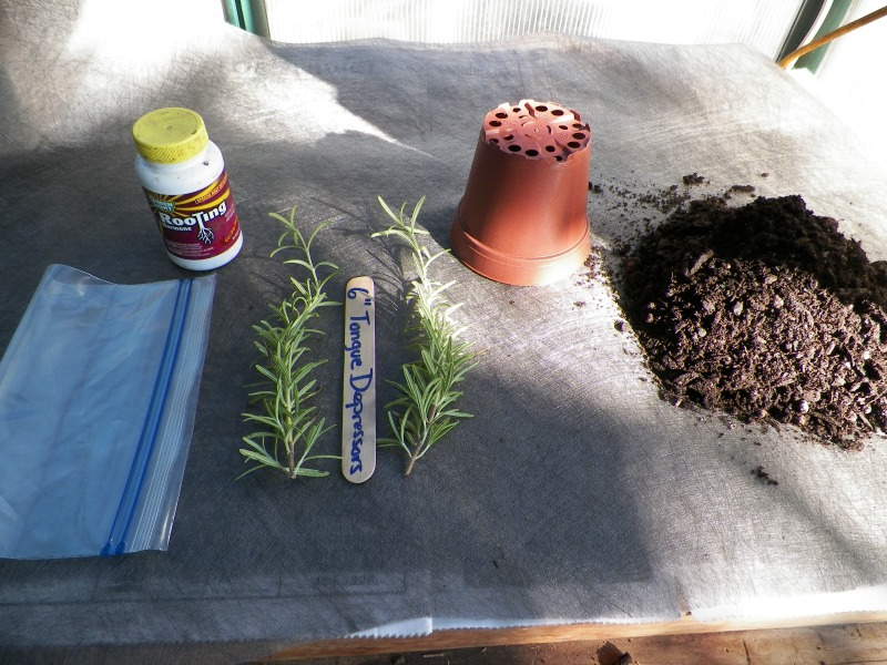 how to cut fresh rosemary from plant