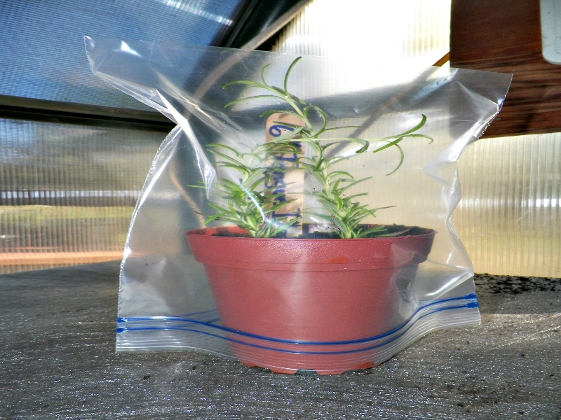 How to Plant Rosemary from Cuttings - Mike's Backyard Nursery