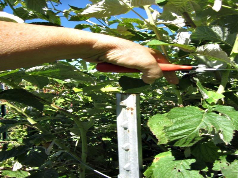raspberry trellis 4