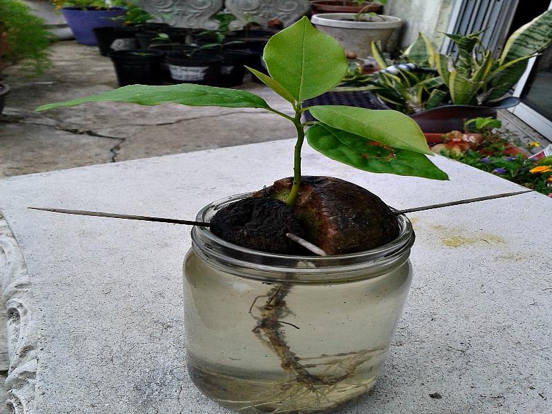avocado tree growth