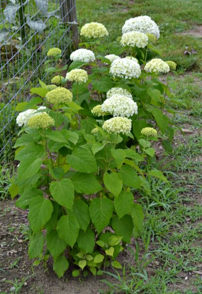 The Never Fail Annabelle Hydrangea