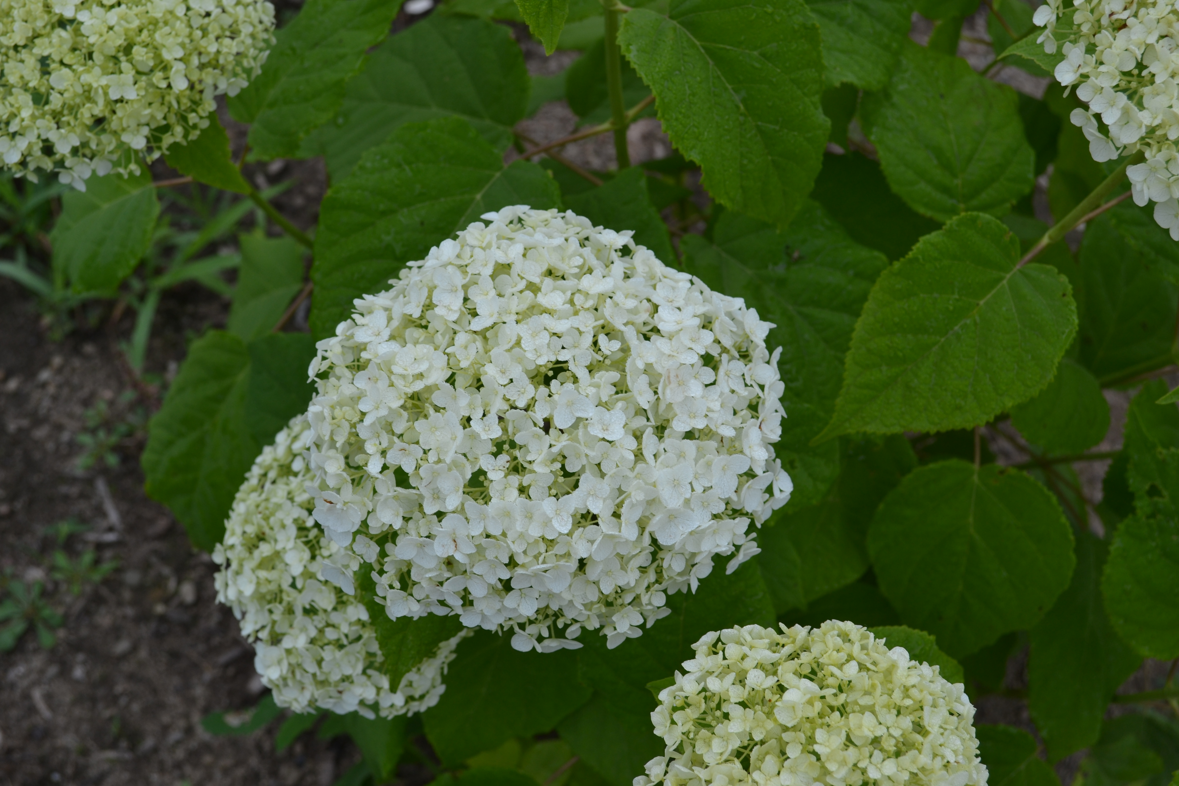 Annabelle Hydrangea, never fails to bloom.