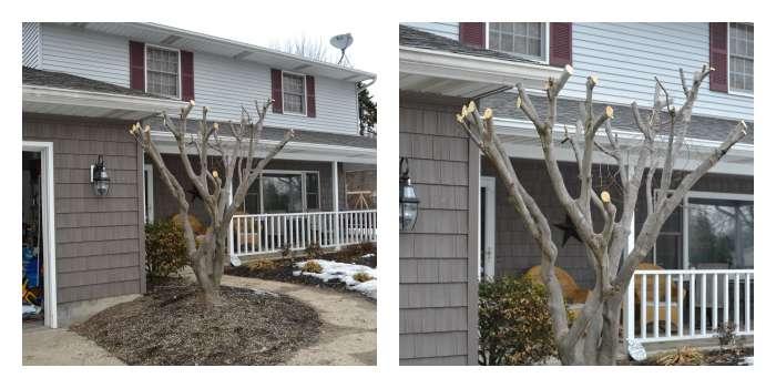 Overgrown Japanese Maple Trimmed Back
