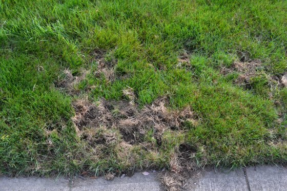 Skunk damage to a lawn.