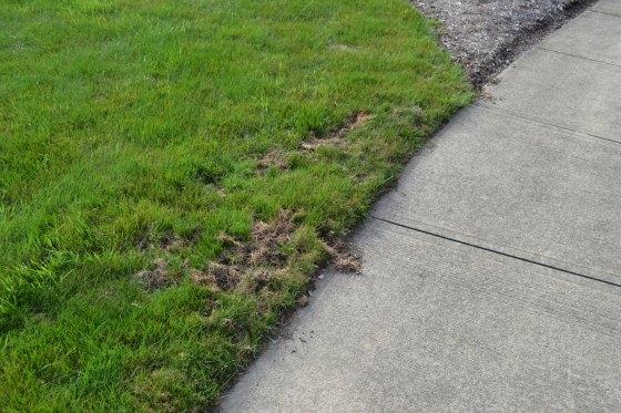 Skunks digging up a lawn, this is mild skunk damage.