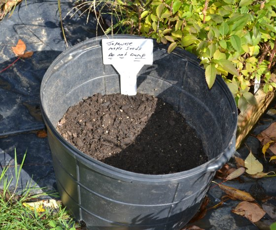 Sowing Japanese maple seeds in a black nursery container.