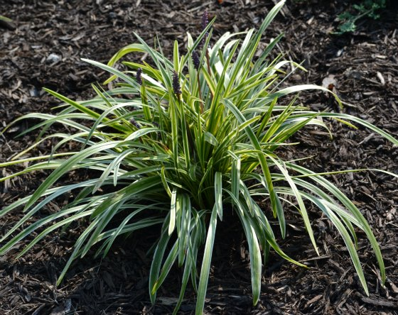 Growing selling and propagating variegated liriope liners for Short variegated grass