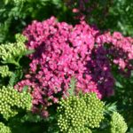Achillea 'Saucy Seduction' common name 'Saucy Seduction' Yarrow.  PP20782