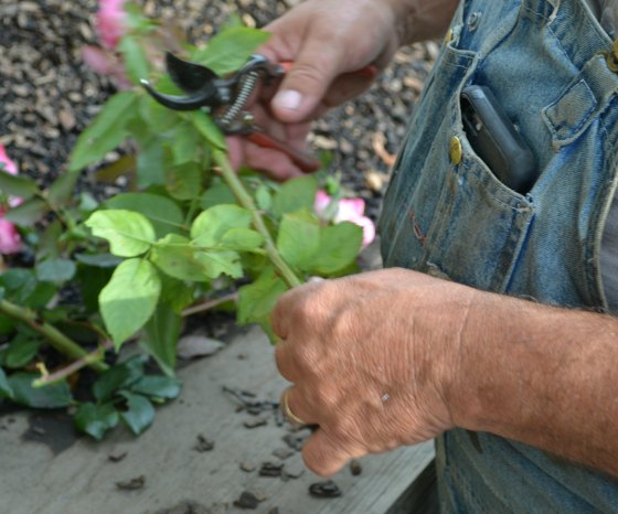 Remove the leaves and side branches from rose cuttings.