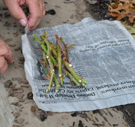 With the butt ends even, wrap the rose cuttings in the wet newspaper.