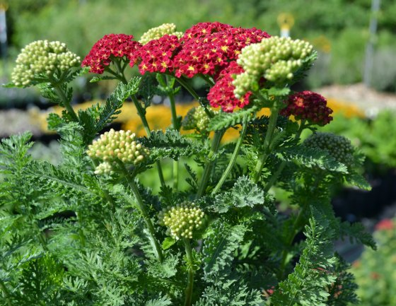 Summer Flowering Yarrow, a hardy perennial.